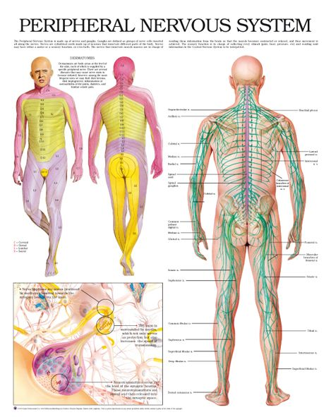 Peripheral Nervous System | College | Pinterest | Health, Anatomy ...