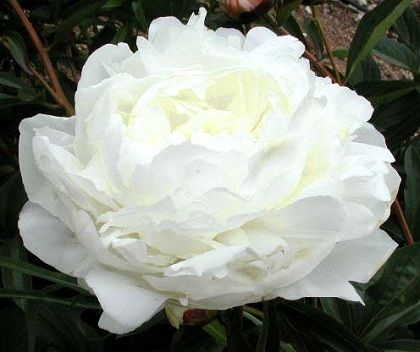 Hollingsworth Peonies - Elsa Sass - Rent hvide, fyldte blomster hvor hvert kronblad er helt perfekt placeret og danner en fuldendt blomst. Mange sideknopper sikrer en lang blomstring. Vokser hurtigt til en kompakt busk.
