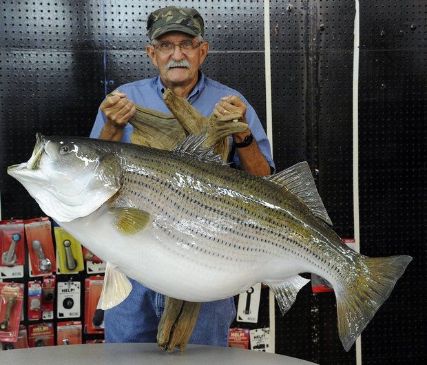 Igfa world record striped bass mounted and ready for for Fishing for striped bass