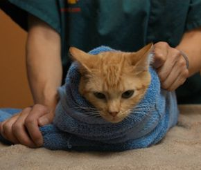 How To Gently Restrain Your Cat Cat Care Anxious Cat Cats