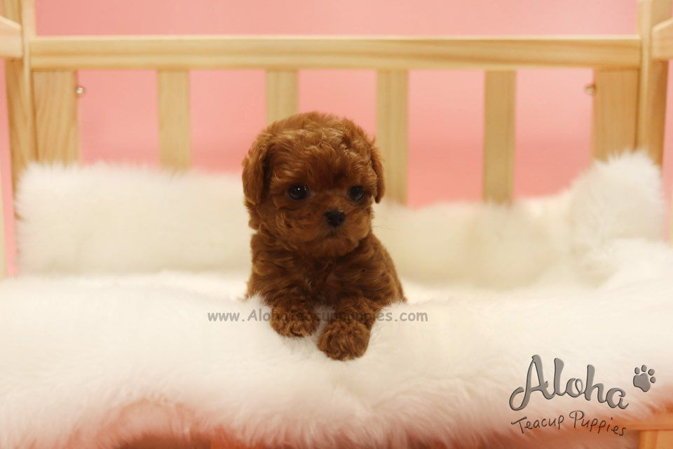 Teacup Mini Red Poodle Is Only Here Https Www