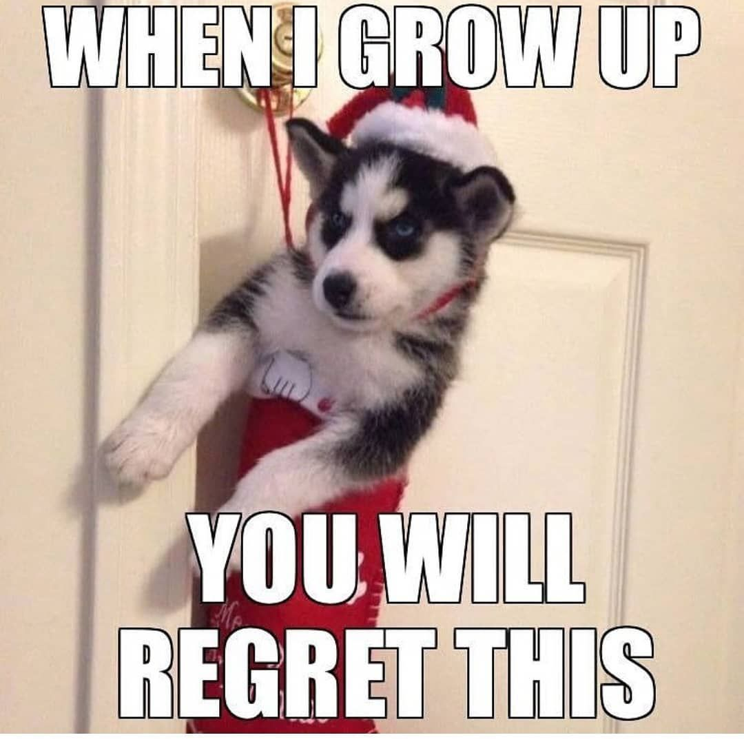 Animals Memes On Instagram Follow Animals Hilarious For More Animals Memes Fav Fun Funny Dog Hund Quote Haha Husky Memes Dog Quotes Funny Funny Husky Meme