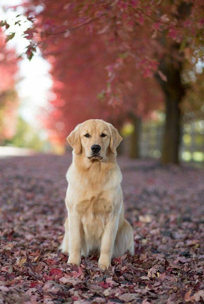 joli chien golden retriver, race de chien taille moyen de couleur ...