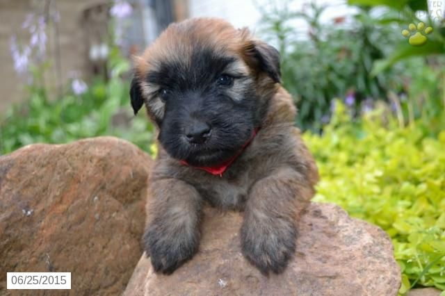 Soft Coated Wheaten Terrier Puppy For
