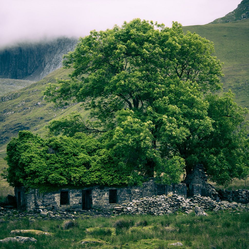 A tree emerges through an ancient ruin in Wales