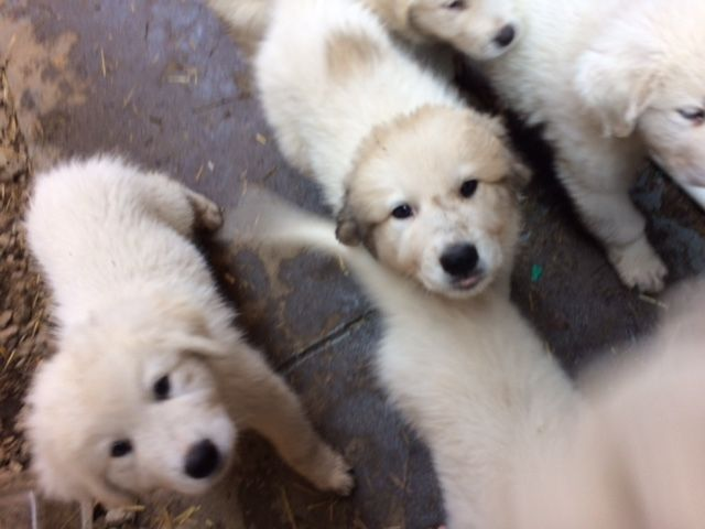 Litter Of 6 Great Pyrenees Puppies For Sale In Louisville Ky Adn
