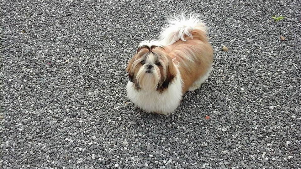 Shih Tzu Shih Tzu Shih Tzu Dog Cute Dogs