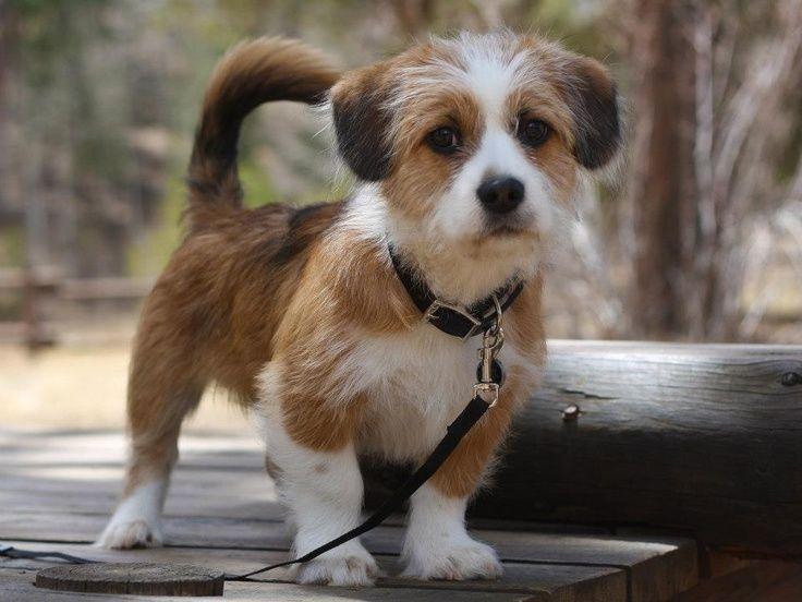 Shorgi Puppy Half Corgi Half Shih Tzu Adorable Mixed Breed