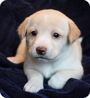 Medford, NJ - Shiba Inu/Beagle Mix. Meet Amaya, a puppy for adoption. http://www.adoptapet.com/pet/10912397-medford-new-jersey-shiba-inu-mix