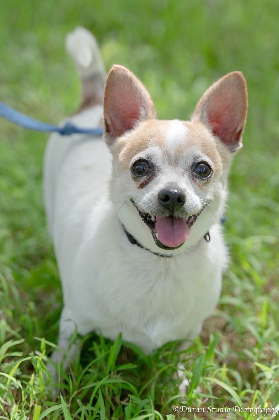Adopt Tony On Petfinder Help Homeless Pets Chihuahua Breeds Dog Adoption