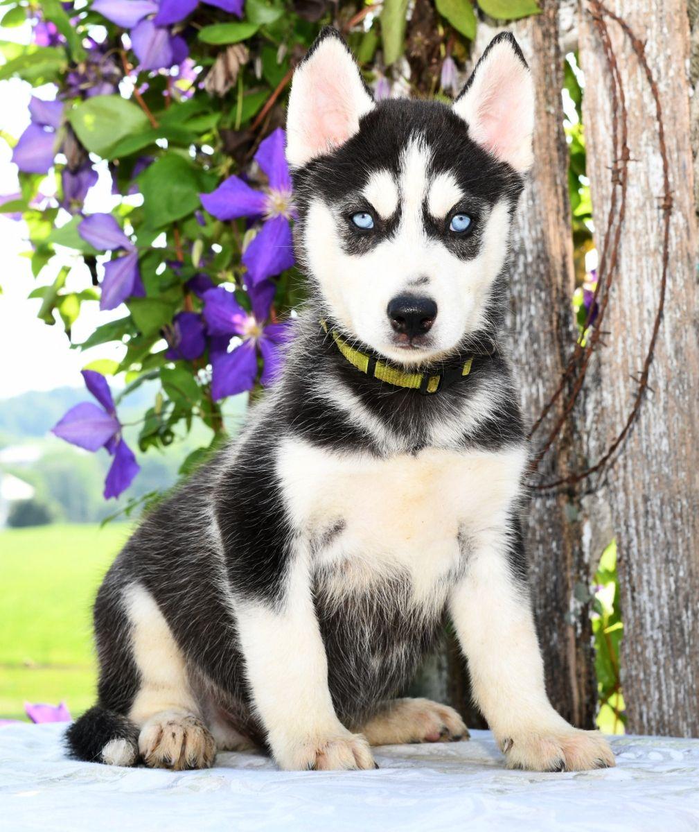 Loyal Siberianhusky Cute Animals Cute Dogs Siberian Husky Puppies