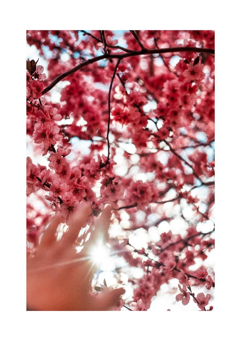 Cherry Blossom A4 Photography Print On Thick 280 Mg Paper Sun Over Spring And Pink Cherry Blossom Trees Photography Print Pink Cherry Blossom Tree Cherry Blossom