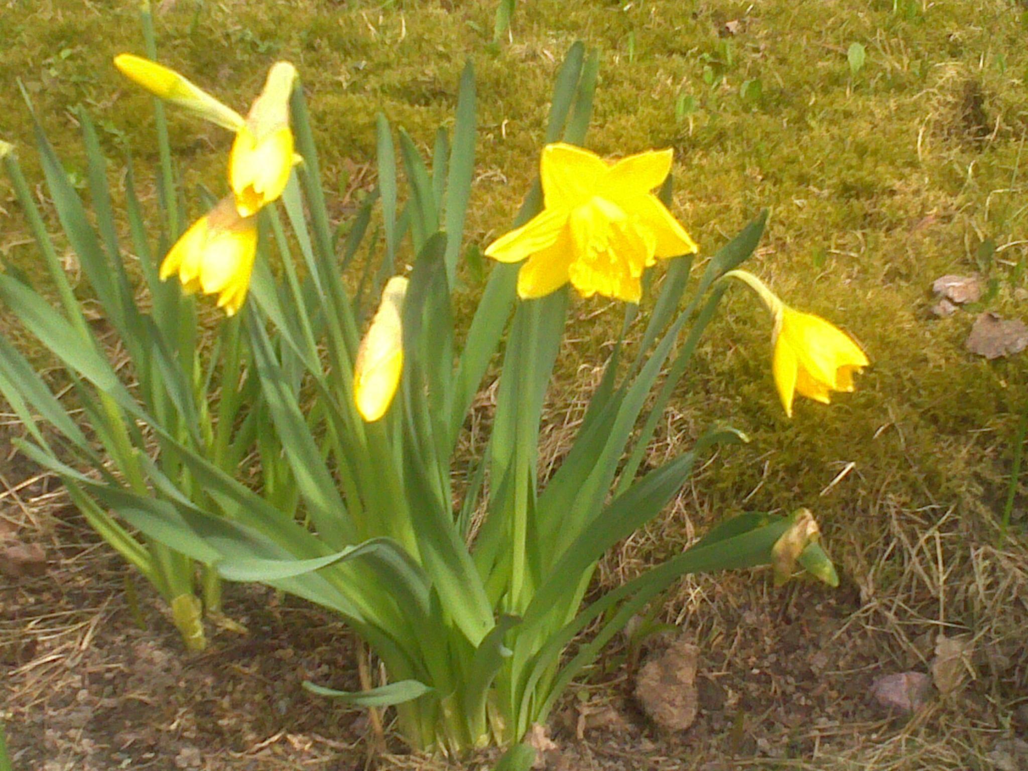 Kevään ensimmäiset narsissit