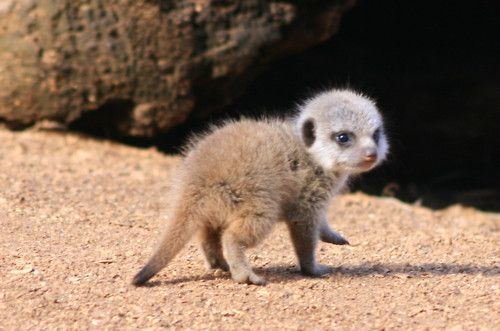 Baby Meerkat Challenges Kittens to Cute-Off --   In bold move unsanctioned by the meerkat community, a renegade pup named Baxter has challenged all of Kittendom to a cute-off — a one-time, winner-take-all battle for adorable supremacy.