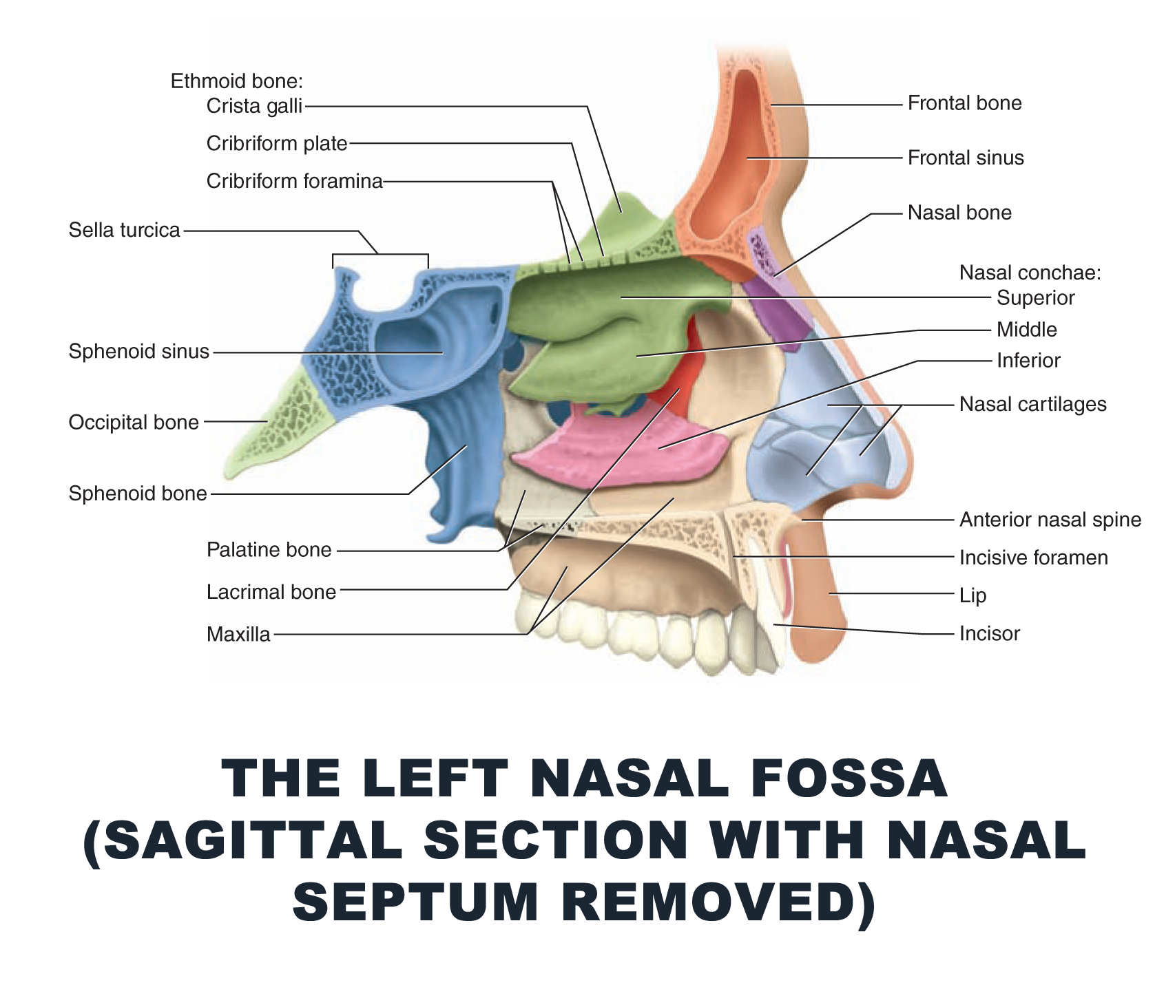 The Left Nasal Fossa (Sagittal Section with Nasal Septum Removed ...
