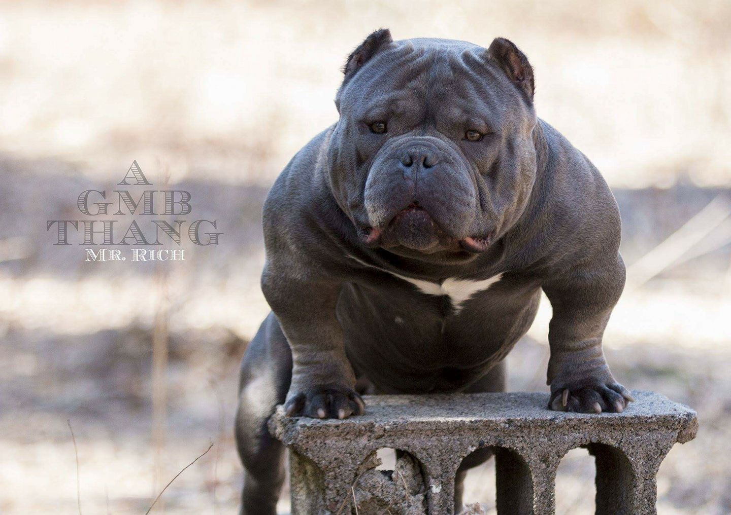 Bully King Magazine Your Source For The American Bully Breed
