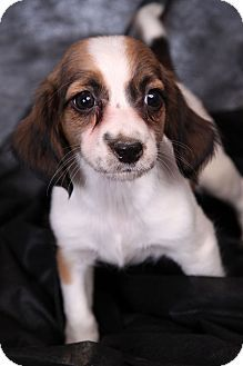 Beagle Friendly And Curious With Images Basset Hound Mix