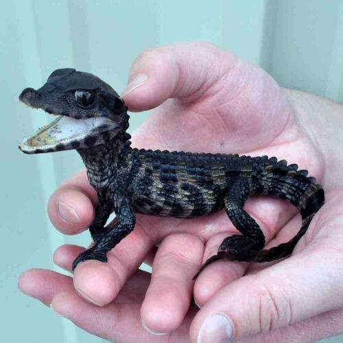 man with small alligator
