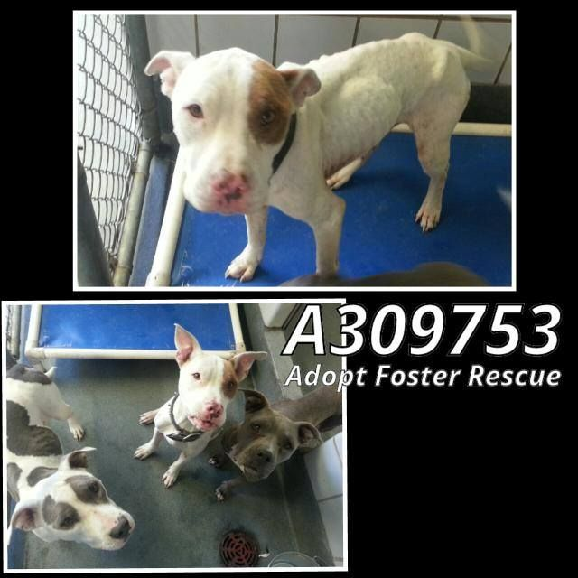 309753 Jack San Antonio Tx Urgent At Risk Of Euthanasia Past