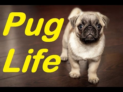 Top 10 Amazing Facts About Pugs Are Pugs Good Dogs 2017