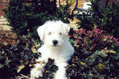 not my Charlie, the Schnoodle at 8 weeks. Schnoodle