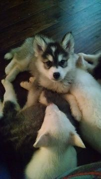 Alaskan Husky Puppy For Sale In Virginia Beach Va Adn 41546 On