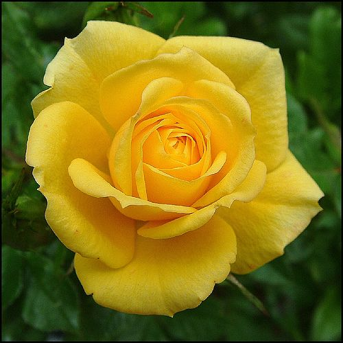 A Rose For The Weekend Beautiful Roses Rose Yellow Roses