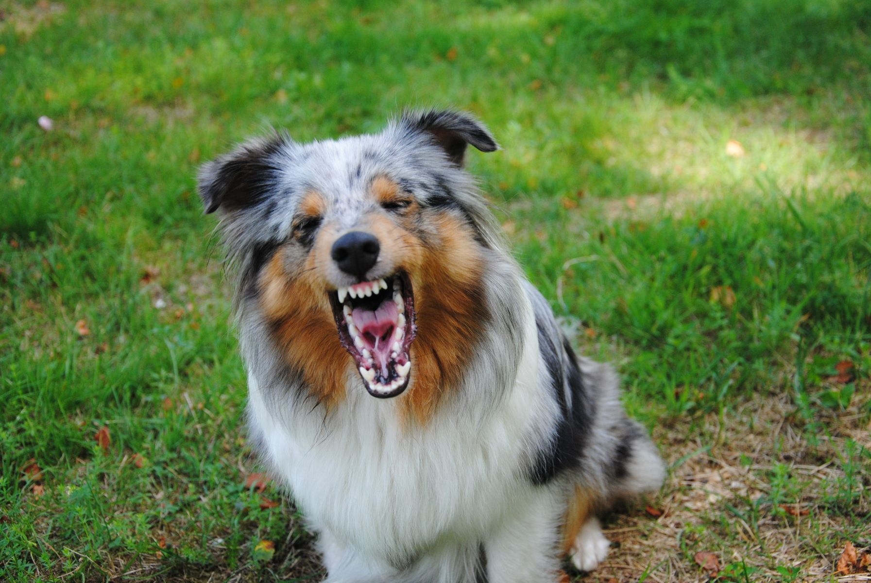 The angry dog breed sheltie | Angry dog, Dogs, Sheltie
