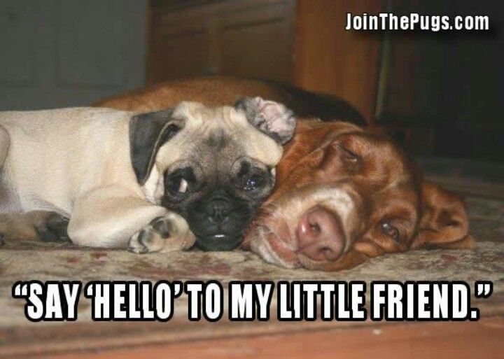 Say Hello Cute Animals Animals Pugs