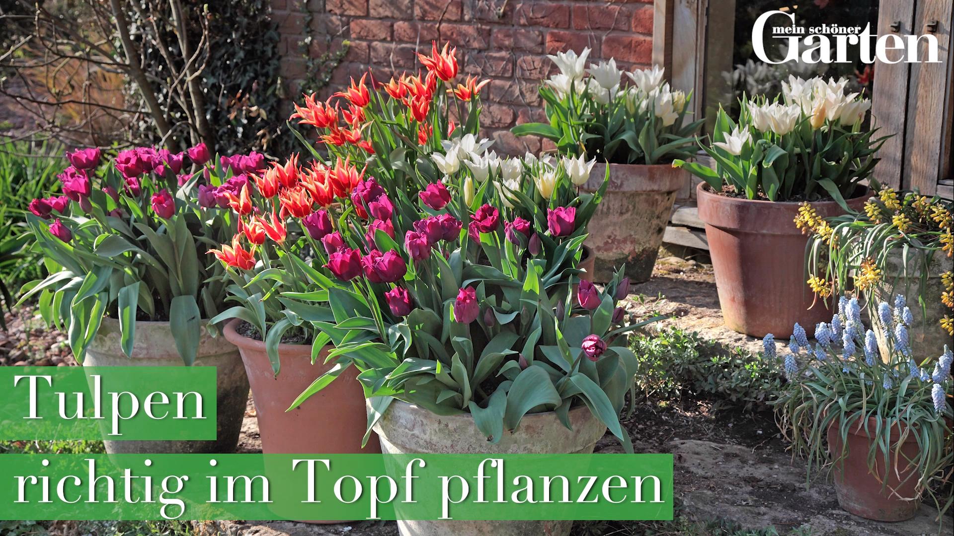 Tulpen im Topf richtig pflanzen