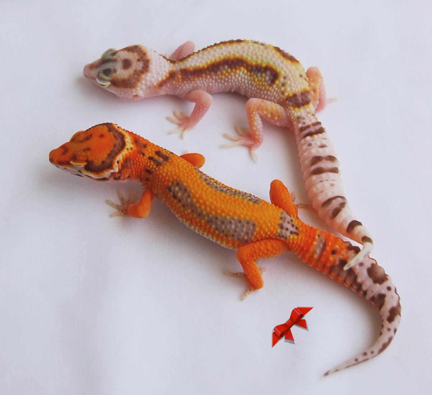 Bold Stripe Electric Emerine Bell And Bold Stripe Snow White Yellow Bell Leopard Geckos Leopard Gecko Cute Reptiles Gecko