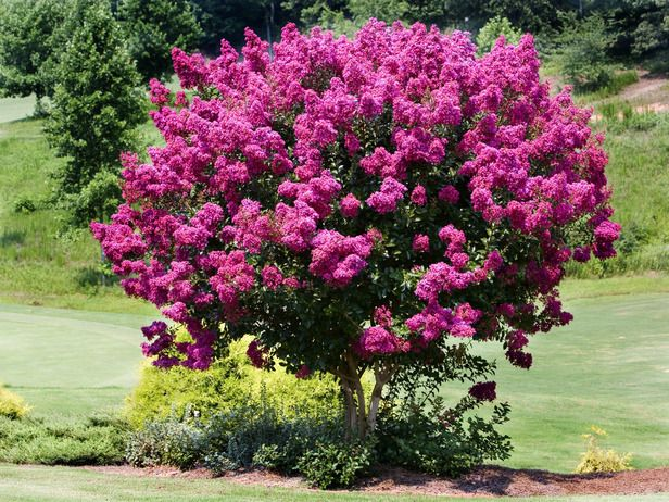 Flowering Trees For Spring Myrtle Tree Fast Growing Trees Flowering Trees