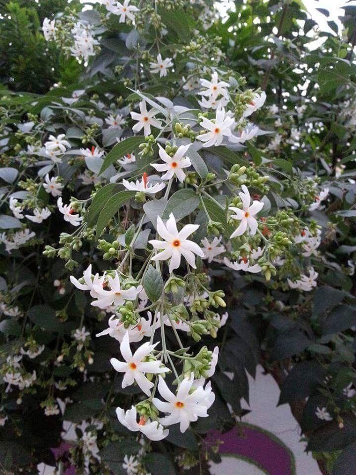Pin by Flowers In Heart on Coral Jasmine(ဆိပ္ ဖလူးပန္ း