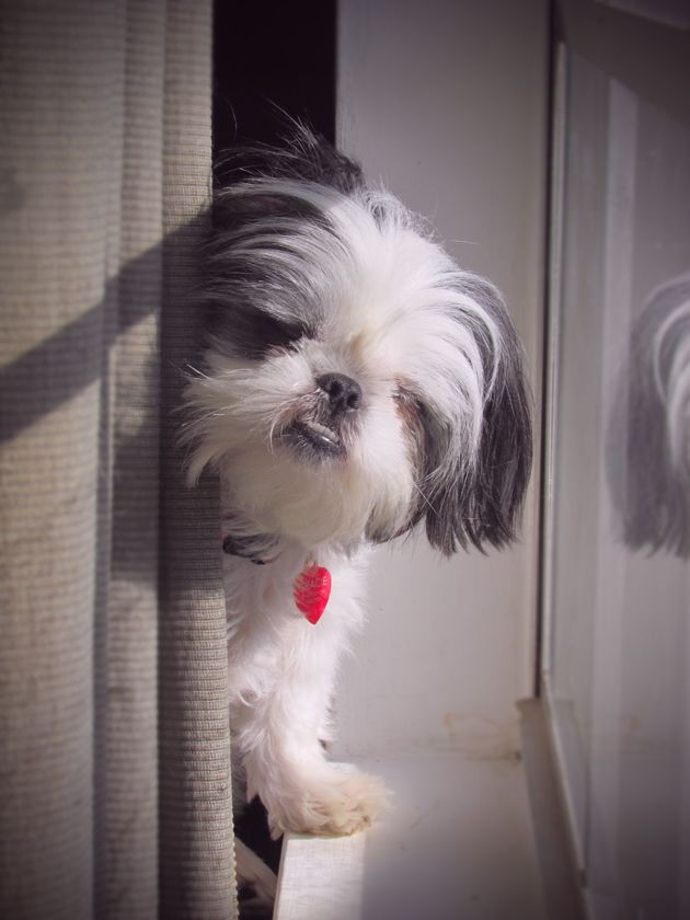 Shih Tzus will sit in a window for hours!