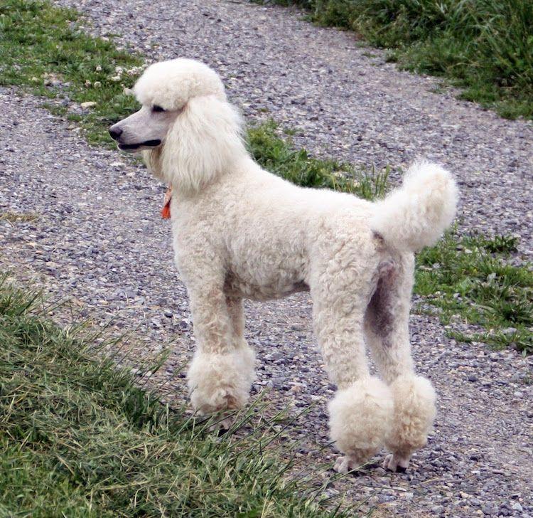 Hunde Fur Allergiker Und 10 Nicht Haarende Hunderassen Im Uberblick Poodle Dog Dog Breeds Dog Lovers