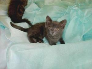Adopt Lucy On With Images Cats And Kittens Russian Blue Grey Cats