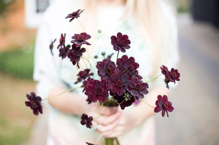 How To Grow Your Own Chocolate Cosmos In Every Season Chocolate Cosmos Flower Chocolate Cosmos Winter Wedding Bouquet