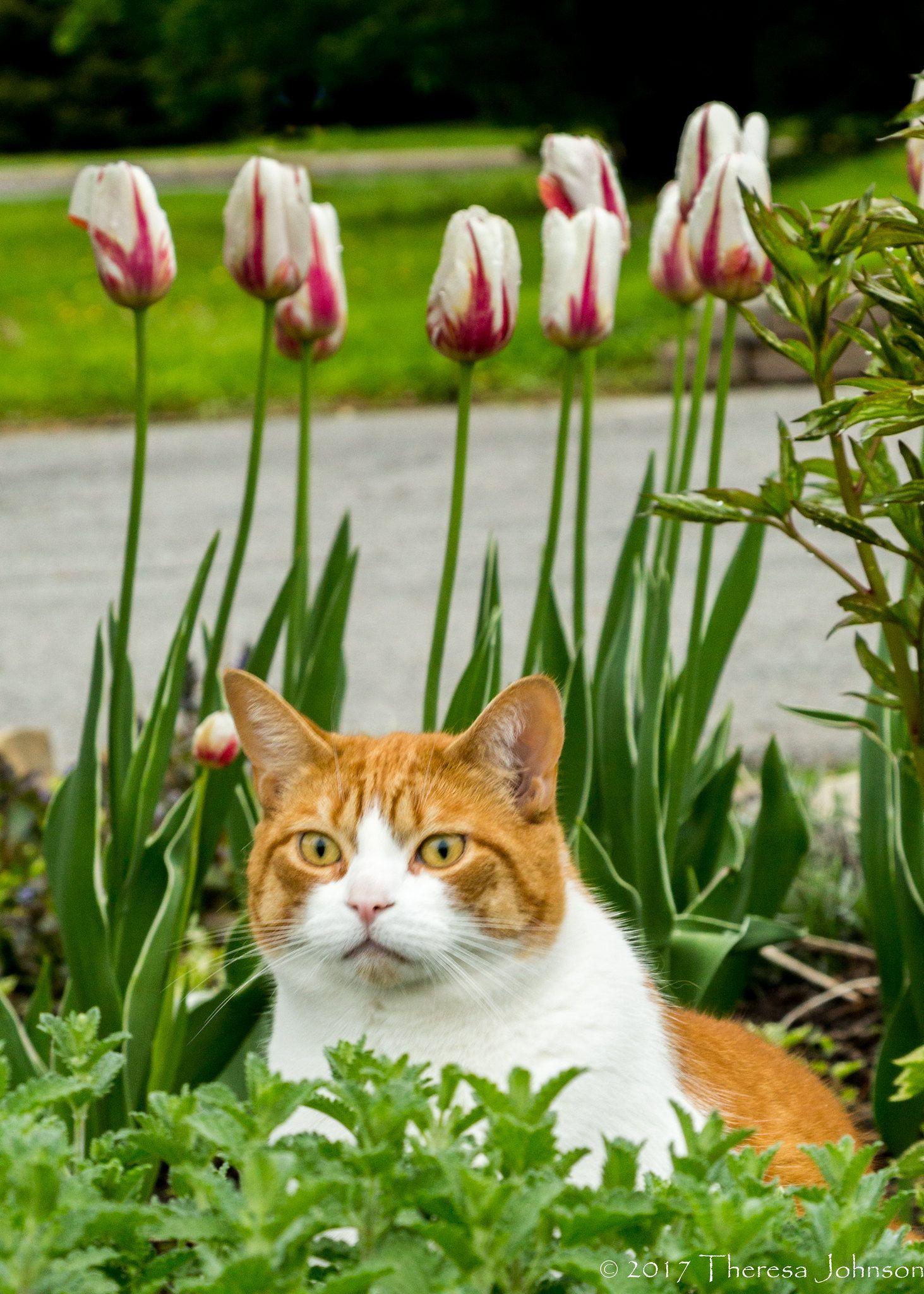 Canada 150 Tulips And Dexter Canada 150 Tulip Orange Cats Cats