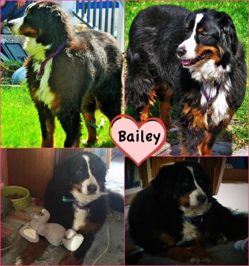 Adopt Bailey On Adoptable Dogs Bernese Mountain Dog Mix