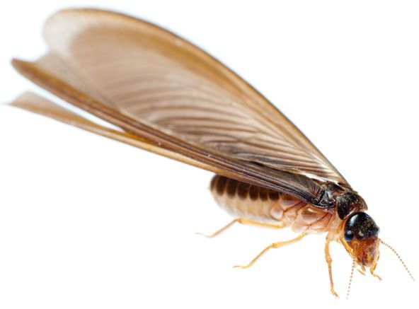 How to Get Rid of Flying Termites Winged Termites