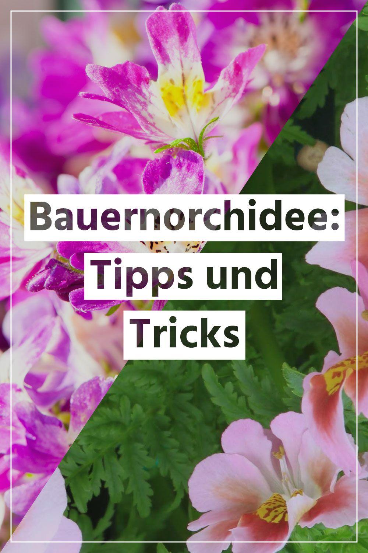 Bauernorchidee: die richtige Pflege, Bewässerung, düngen ...