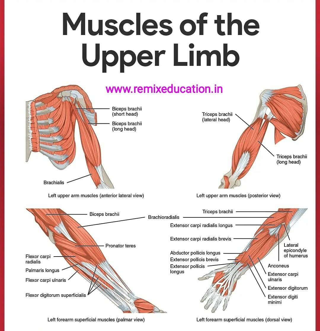 Muscles Of The Upper Limb In