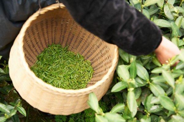 Cueillette dans nos jardins de thé bio en Chine #thé #tea #bio #organic