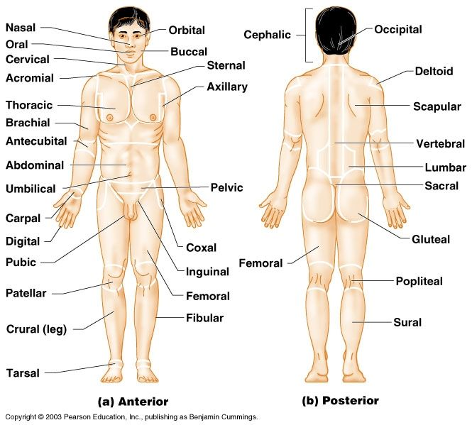 Image result for anatomy body regions diagram