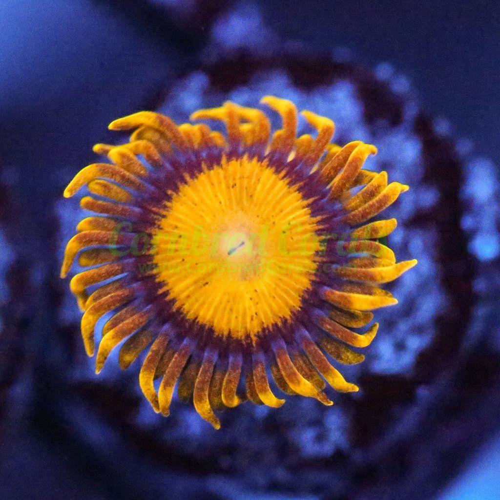 Cornbred S Pots Of Gold Zoa Cornbred Corals Ocean Dwellers Saltwater Aquarium Reef Tank