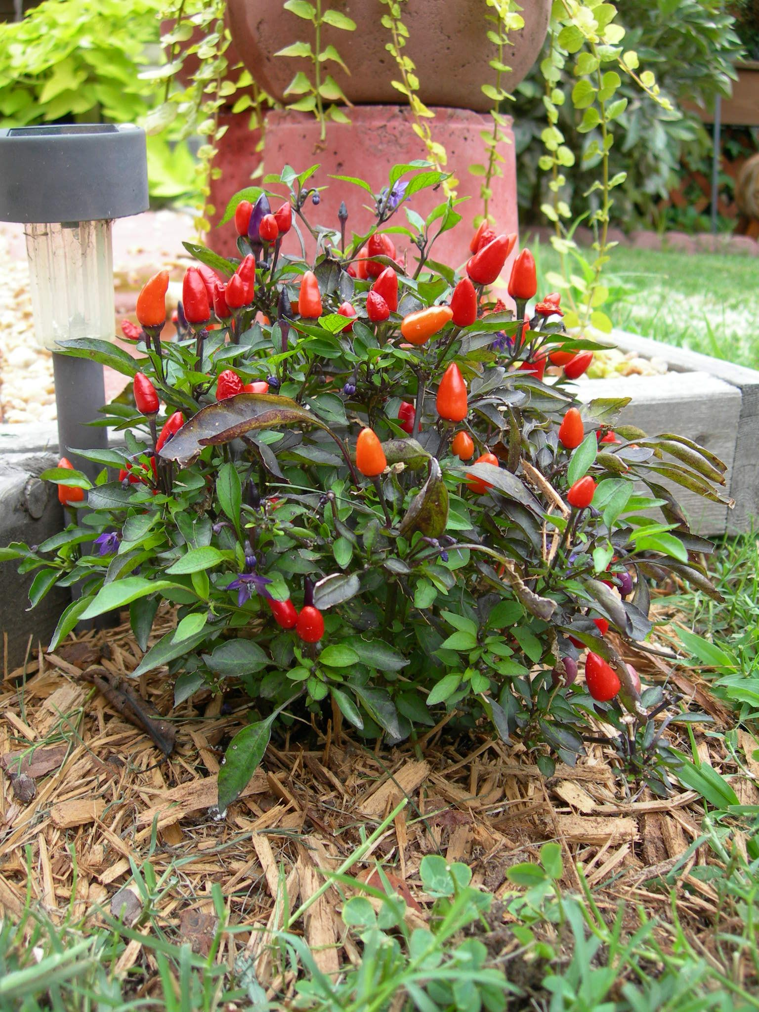 Growing Peppers In Your Vegetable Garden: Ornamental Pepper Plant.