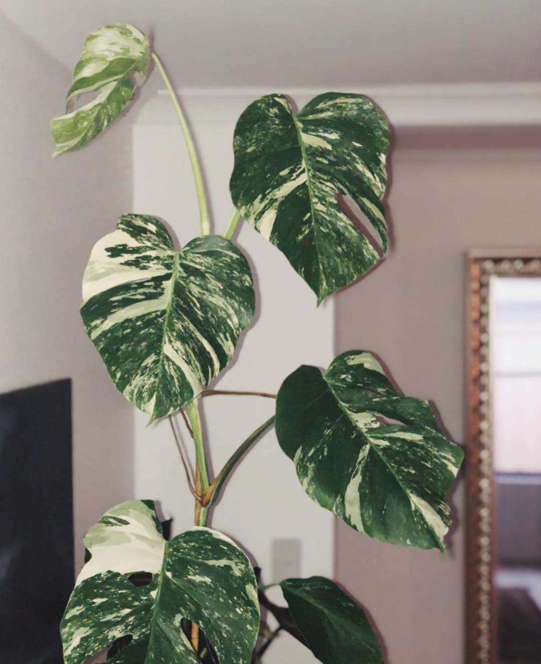 New week new leaf monsteramonday u oops latepost