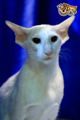 White Siamese Foreign White Adult White Cats Foreign White Cats