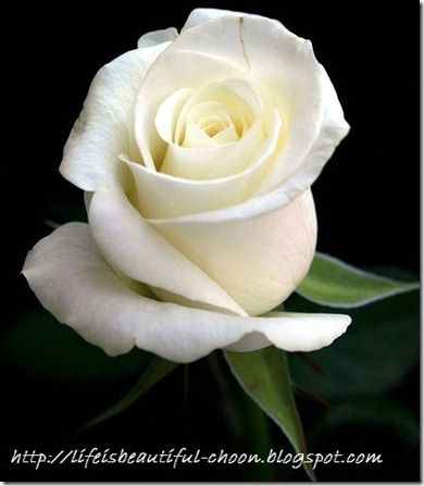 White rose bouquet pinterest weddings the meanings of a single rose a single white rose is interpreted to mean both purity as well as peace white being the color of innocence and impeccability mightylinksfo