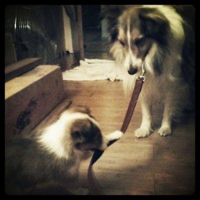 Shelties make the world go round =) | Crazy dog lady ...